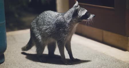 armadilha : Raccoon (Procyon lotor) scavenging for food at night. Rare footage. Vídeos