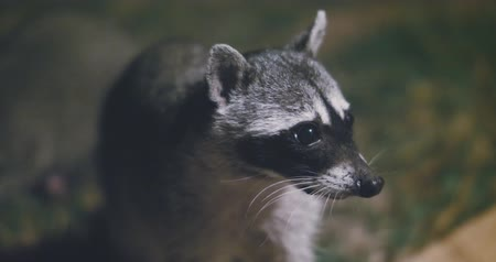 bandido : Raccoon (Procyon lotor) scavenging for food at night. Rare footage. Vídeos