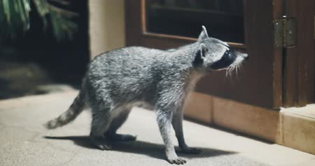 raccoon : Raccoon (Procyon lotor) scavenging for food at night. Rare footage. Stock Footage