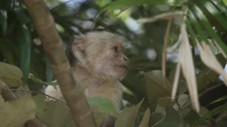 Коста : Wild White Faced Monkey in a Costa Rica rainforest. Slow motion footage.