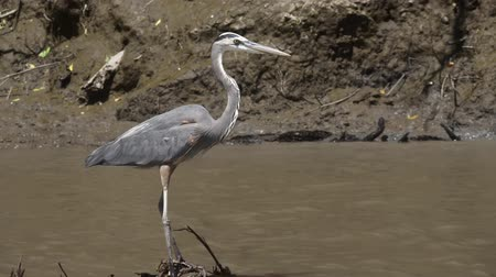 bird sanctuary : Great Blue Heron in a Costa Rica river. Slow motion footage.