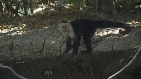 américa central : Wild White Faced Monkey in a Costa Rica rainforest. Slow motion footage.