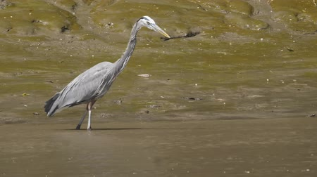 mokřady : Great Blue Heron in a Costa Rica river. Slow motion footage.