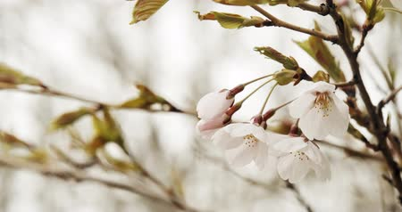 flower buds : Cherry Blossoms in Full Bloom. Shot in 4K RAW on a cinema camera. Stock Footage
