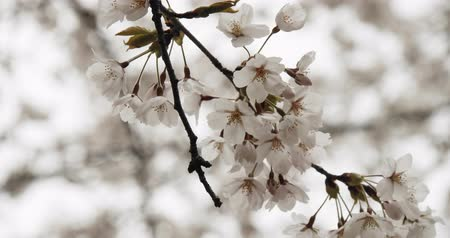 nisan : Cherry Blossoms in Full Bloom. Shot in 4K RAW on a cinema camera. Stok Video