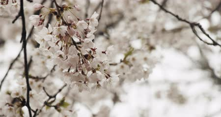 rosa fiore : Cherry Blossoms in Full Bloom. Girato in 4K RAW su una cinepresa.