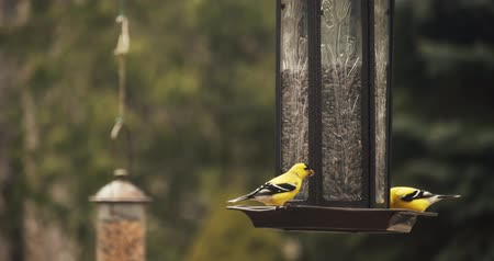 Brightly colored American Goldfinches perched on a feeder. Shot in 4K RAW.