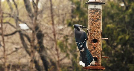 боке : Blue Jay Bluejay lands on a birdfeeder. Slow motion. Shot in 4K RAW.