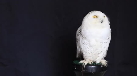 diurnal : Snowy owl is a large diurnal Owl