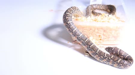 feroz : Lampropeltis getula meansi, commonly known as Apalachicola Kingsnake