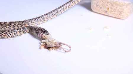боа : Lampropeltis getula meansi, commonly known as Apalachicola Kingsnake
