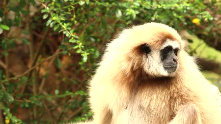 close up shot : gibbon in chiangmai zoo , chiangmai Thailand