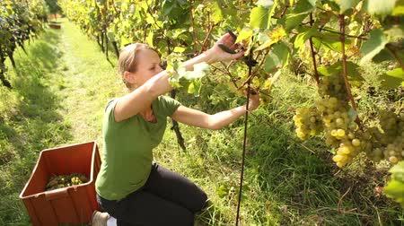 yards : Young woman picking grapes on the vineyard during the vine harvest