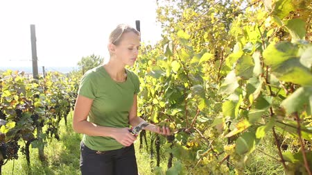 drink industry : Young woman picking grapes on the vineyard Stock Footage