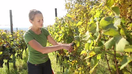 winnica : Young woman picking grapes on the vineyard Wideo