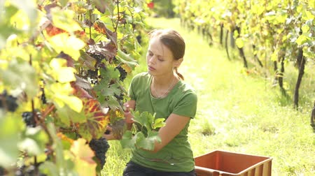 üretmek : Young woman picking grapes on the vineyard Stok Video