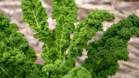 Fresh kale being waved at camera in slow motion