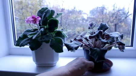 sill : female hand holding a pot of flowering plant on the windowsill Stock Footage