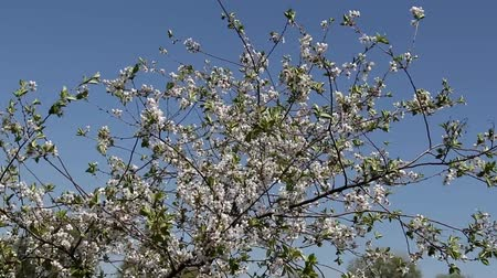 hacienda : branches of blossoming cherry waving against the sky