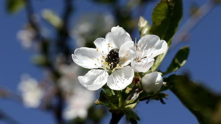 hacienda : a beetle sits on a cherry blossom, closeup