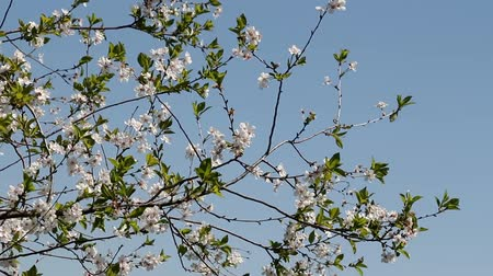 hacienda : against the blue sky flowering branches swaying plums