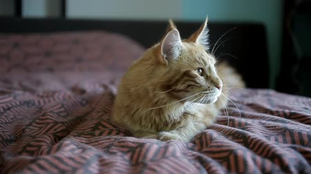 benekli : Maine Coons red cat lies on a mottled coverlet Stok Video