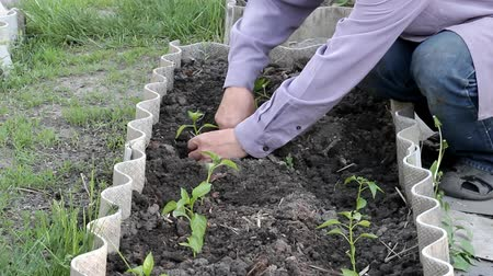 hacienda : mens hands planting seedlings of pepper in loose ground Stock Footage