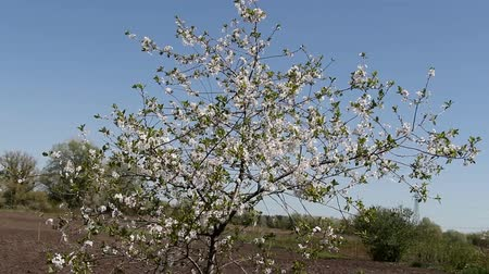 hacienda : lonely standing young flowering apricot tree on a farm