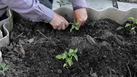 hacienda : male hands plant seedlings in the ground, closeup