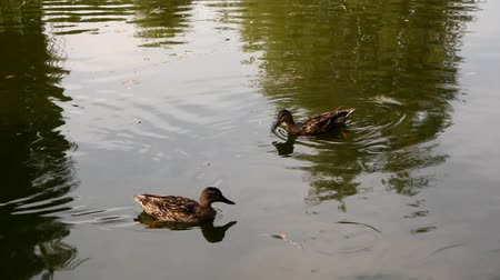 duck pond : wild ducks swim along the pond, dive, evening
