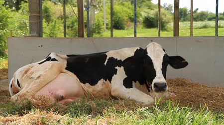dairy animal : cow is breathing Stock Footage
