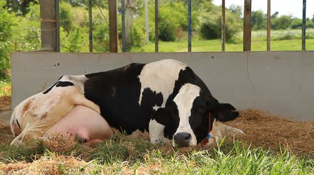 dairy animal : cow is breathing and action