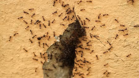 queen ant : Clown ant eat centipede