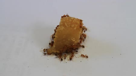 queen ant : Crowd of ant eating sugar.