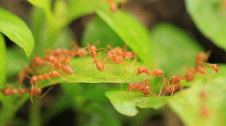 queen ant : Crowd of ant on leaf.