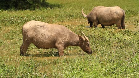 afrika : buffalo eating the grass in water.