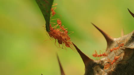 queen ant : The ants are working and leaf background