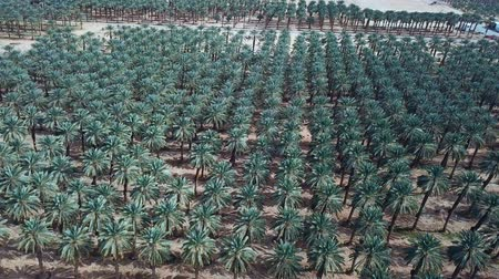 fenice : Aerial footage of Date palms plantation in the desert