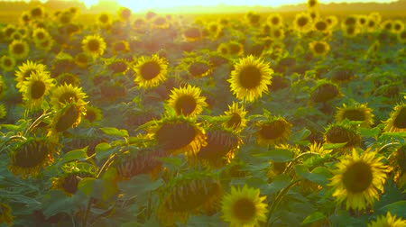 botanik : Sunset over the field of sunflowers in the countryside. Impressive view. Stok Video