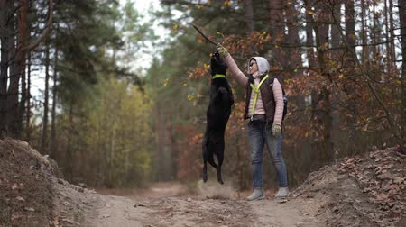 улов : Woman Training Her Dog In The Autumn Forest. The Female Is Holding A Stick In Her Hand And The Dog Jumps Trying To Catch It. Стоковые видеозаписи