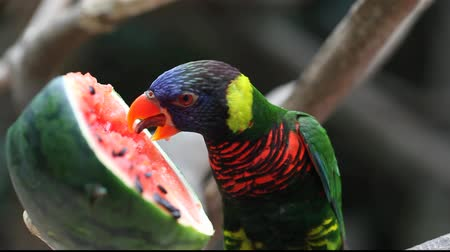ara papagáj : A parrot eating watermelon Stock mozgókép