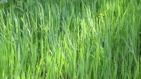 natureza : Closeup of backlit fresh green grass swinging in the wind Vídeos