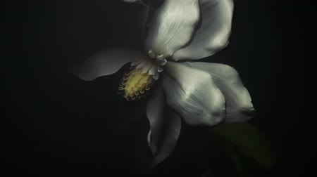 flutuador : white flower under water, white flower under water, crumpled dead flower