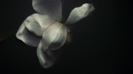 white flower under water, white flower under water, crumpled dead flower