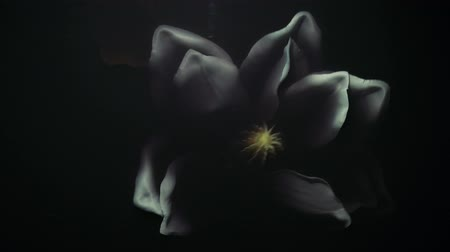 ink flower : white flower under water, white flower under water, crumpled dead flower
