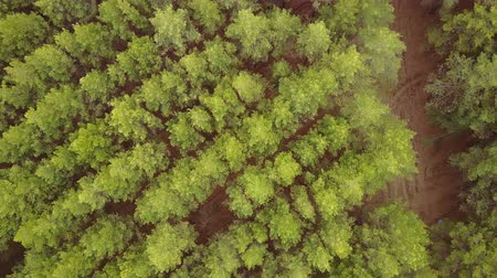 クラウン : aerial survey over planting coniferous forests pine planting. Panorama of coniferous forest from the air. birds eye view coniferous forest, tree plantations. aerial adventure over a coniferous forest 動画素材