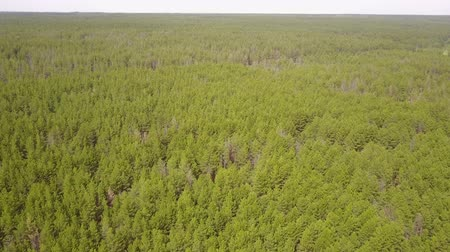boomtoppen : aerial survey over planting coniferous forests pine planting. Panorama of coniferous forest from the air. birds eye view coniferous forest, tree plantations. aerial adventure over a coniferous forest Stockvideo
