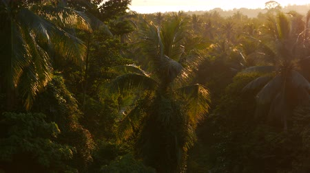 comes : tropical palm forest in bright evening sun. wet tropics at sunset. bright sunlight floods dense palm forest. thick forest in sunset. coconut tree sunset in rainforest