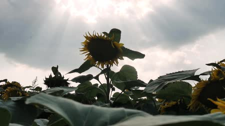 Sunflowers in the Field. Beautiful fields with sunflowers in the summer. Bright sunflower background. Steadicam slow motion video