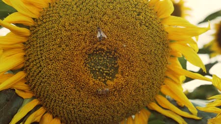 Slow motion. Large sunflower close up with bee pollinating. Beautiful macro view of a sunflower in full bloom with a bee collecting pollen. Worker bees and sunflower plants. Dostupné videozáznamy